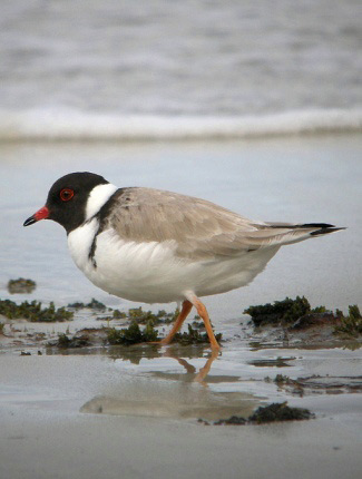 Photograph of Hooded Plover