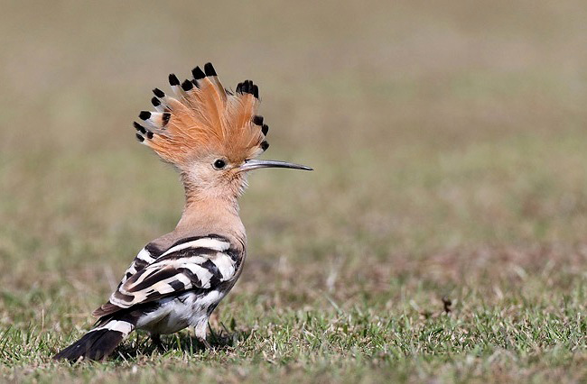 Photograph of Hoopoe