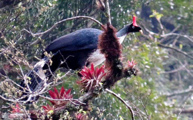 Photograph of Horned Guan