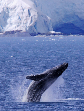 Photograph of Humpback Whale