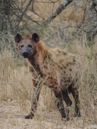 Photograph of Spotted Hyaena