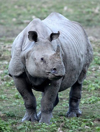 Photograph of Indian Rhinoceros