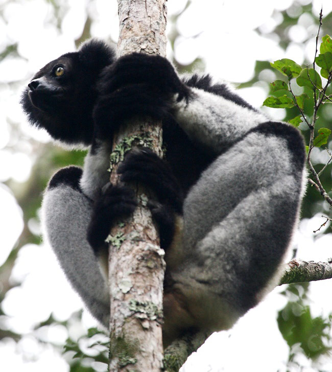 Photograph of Indri