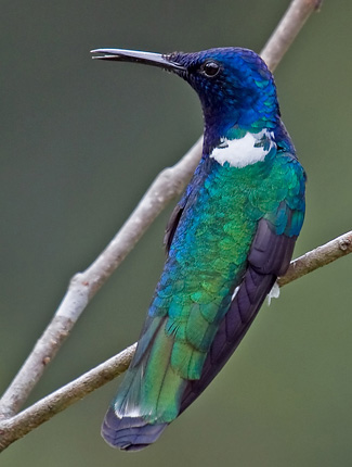 Photograph of White-necked Jacobin