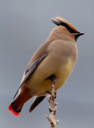 Photograph of Japanese Waxwing