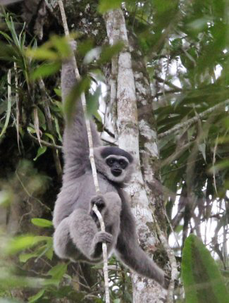 Photograph of Javan Gibbon