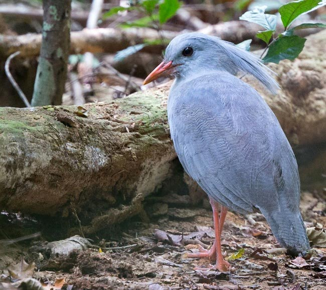 Photograph of Kagu