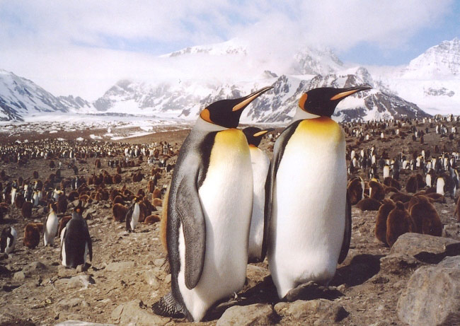 Photograph of King Penguins