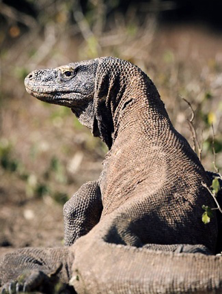 Photograph of Komodo Dragon