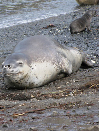 Photograph of Leopard Seal