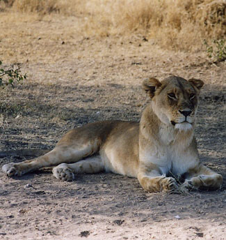 Photograph of Lioness