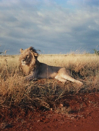 Photograph of Lion