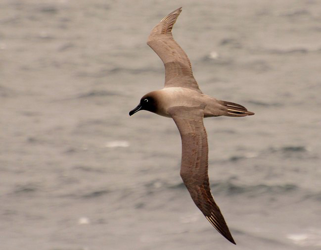 Photograph of Light-mantled Albatross