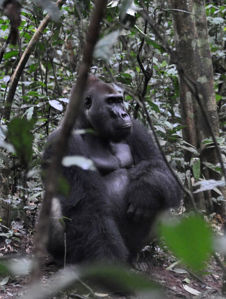 Photograph of Western Lowland Gorilla