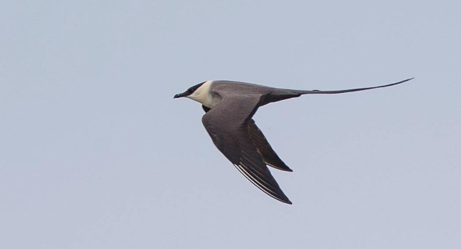 Photograph of Long-tailed Skua