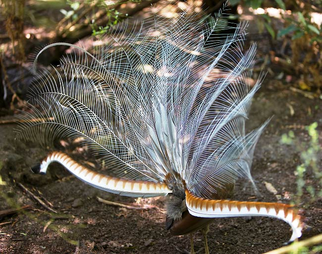 Photograph of Superb Lyrebird