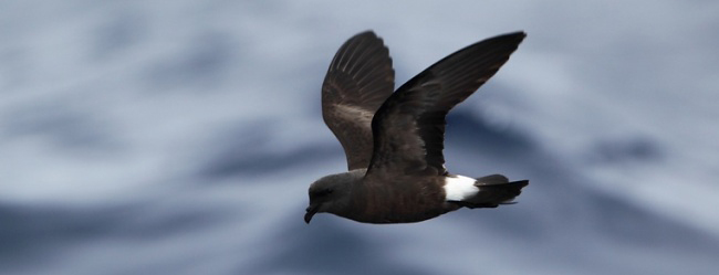Photograph of Madeiran Storm Petrel