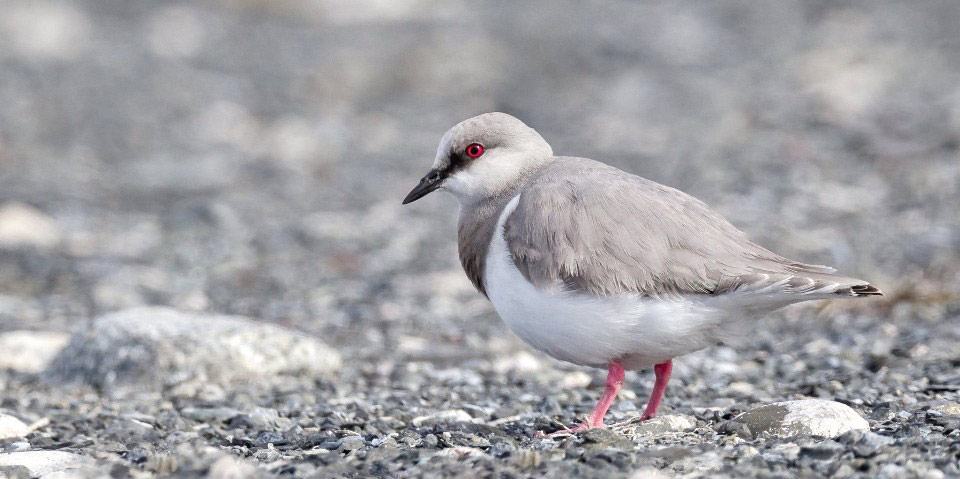Photograph of Magellanic Plover