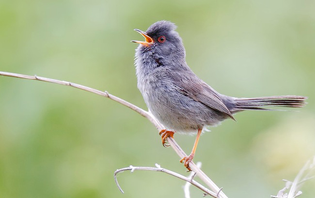 Photograph of Marmora's Warbler
