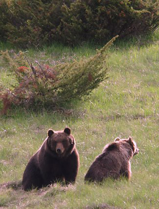 Photograph of Brown Bears