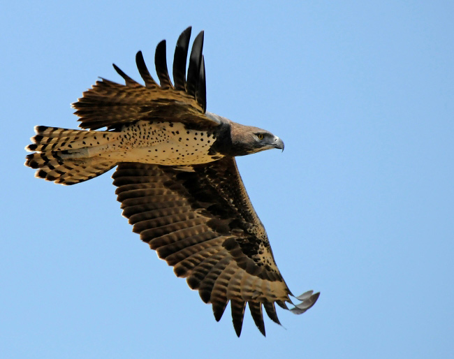 Photograph of Martial Eagle