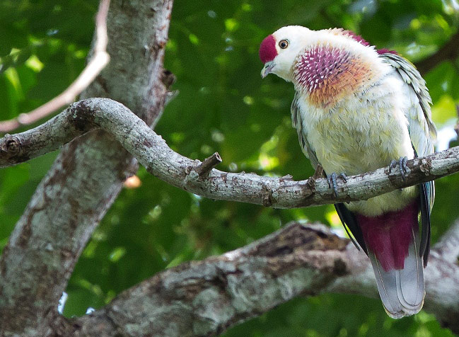 Photograph of Many-coloured Fruit Dove
