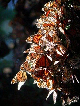 Photograph of Monarch Butterflies