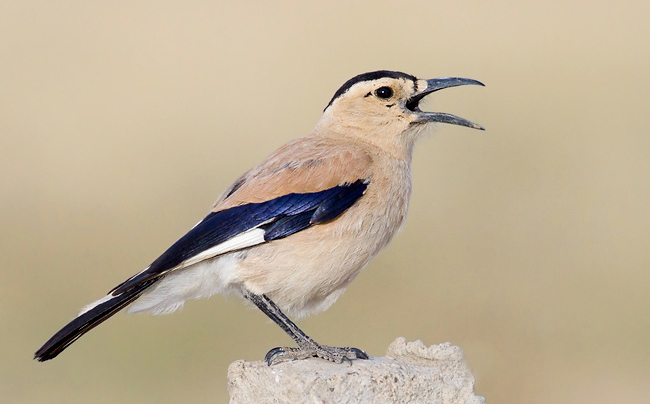 Photograph of Henderson's or Mongolian Ground Jay