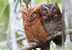 Photograph of Sokoke Scops Owls