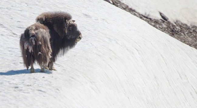 Photograph of Musk Ox