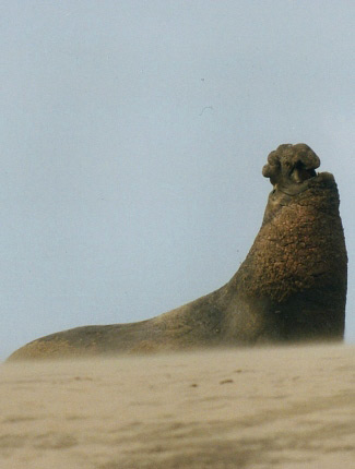 Photograph of Northern Elephant Seal