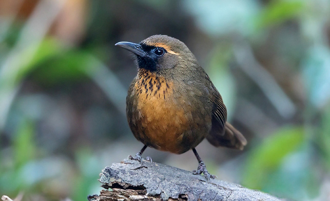 Photograph of Orange-breasted Laughingthrush