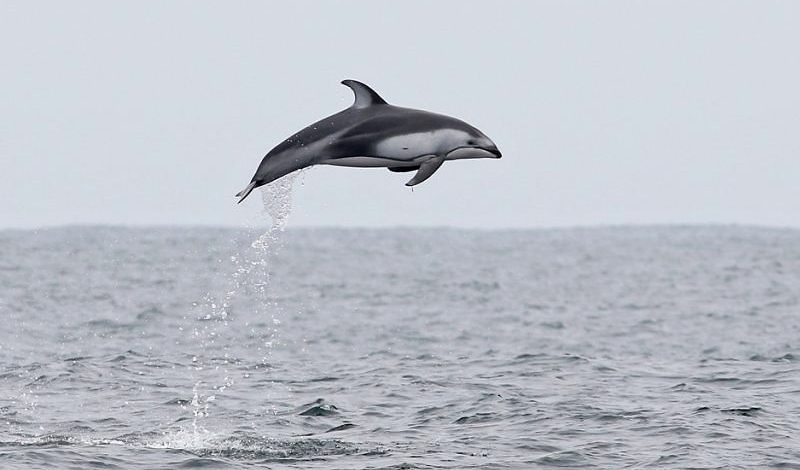 Photograph of Pacific White-sided Dolphin