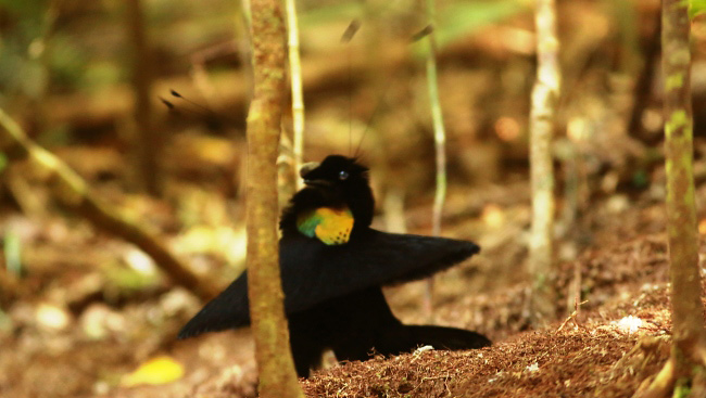 Photograph of Western Parotia