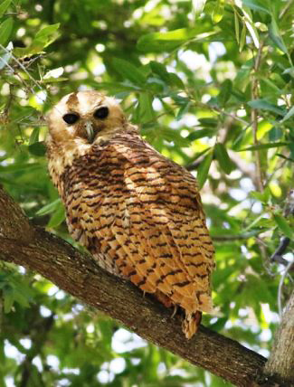 Photograph of Pel's Fishing Owl