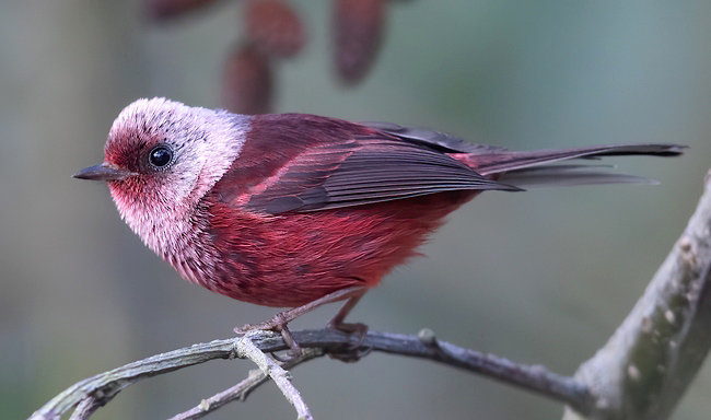 Photograph of Pink-headed Warbler