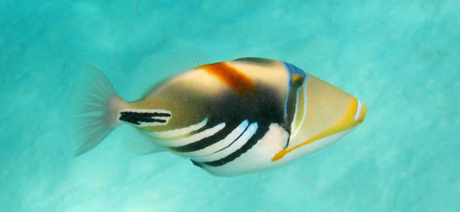 Photograph of Picasso Triggerfish