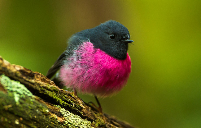 Photograph of Pink Robin