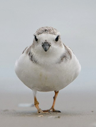 Photograph of Piping Plover