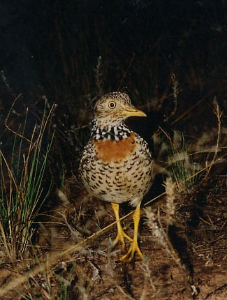 Photograph of Plains-wanderer