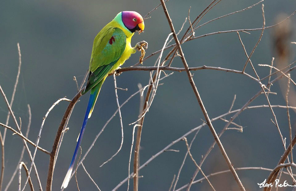 Photograph of Plum-headed Parakeet