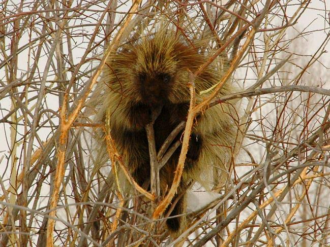 Photograph of North American Porcupine
