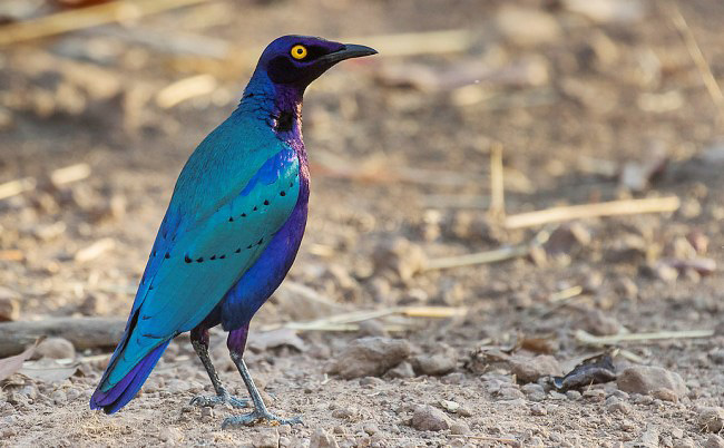 Photograph of Purple Glossy Starling