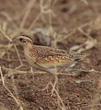 Photograph of Quail Plover