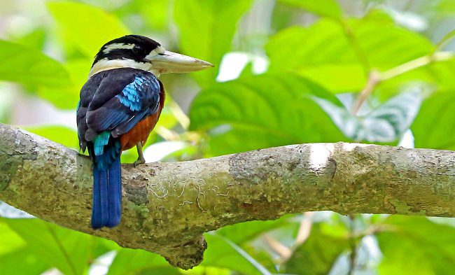 Photograph of Rufous-bellied Kookaburra
