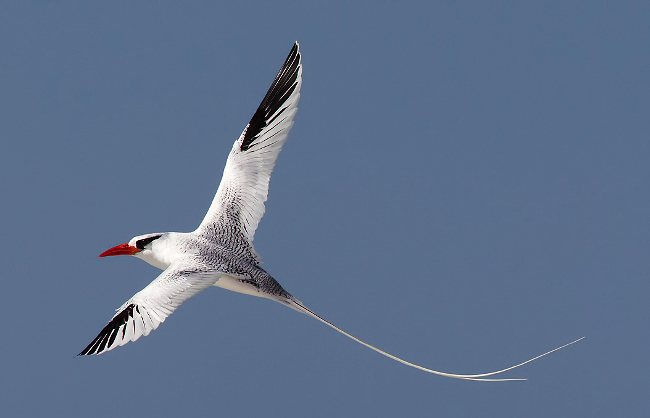 Photograph of Red-billed Tropicbird