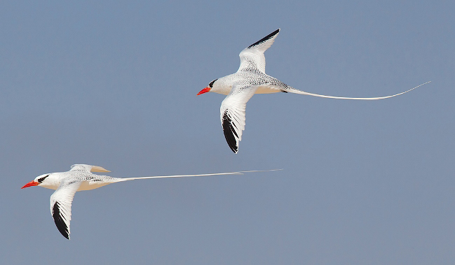 Photograph of Red-billed Tropicbirds
