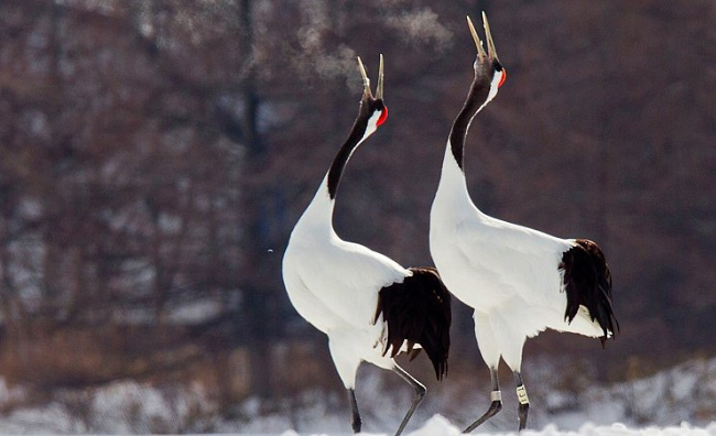 Photograph of Red-crowned Cranes