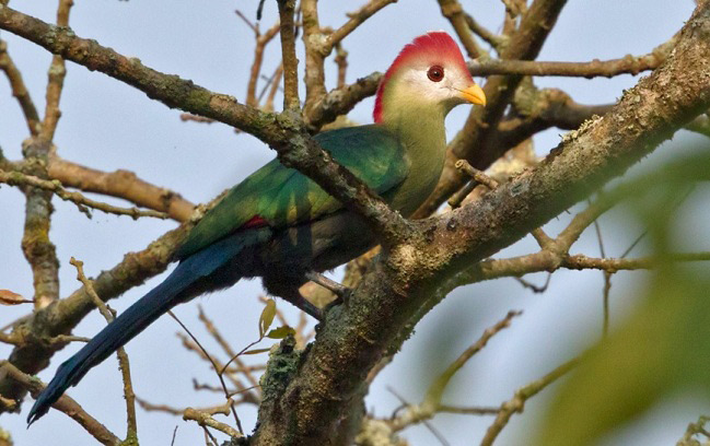 Photograph of Red-crested Turaco
