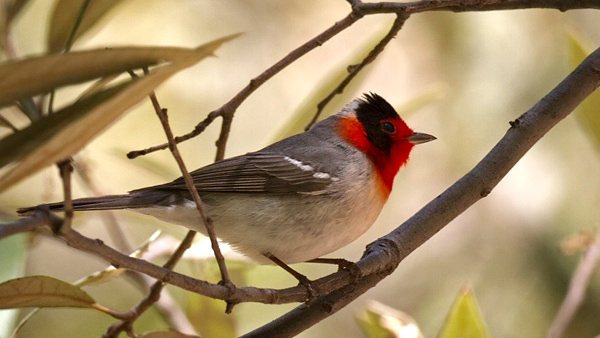 Photograph of Red-faced Warbler